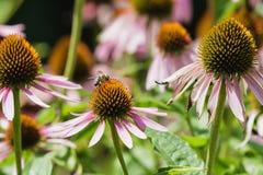 Echinacea medicinal plant. stock photo