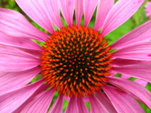 Echinacea medicinalis flower Royalty Free Stock Photos