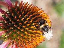 Echinacea met bumbelbee Stock Foto