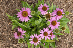 Echinacea - Mistral Royalty Free Stock Images