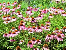 Echinacea Angustifolia Flowers. Echinacea, a native North American perennial sporting daisy like flowers with raised centers, is commonly called coneflowers and stock photos