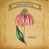 Echinacea naturel d'apothicaire Image stock