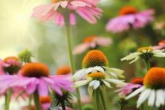 Echinacea nel giardino Fotografia Stock