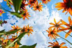 Echinacea niebo i kwiaty Fotografia Royalty Free