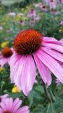 Echinacea op een gebied van bloemen Royalty-vrije Stock Afbeelding