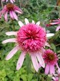 Echinacea pink Double Delight stock photos