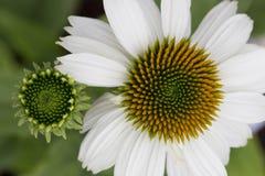 Echinacea - Pow Wow White Royalty Free Stock Photography
