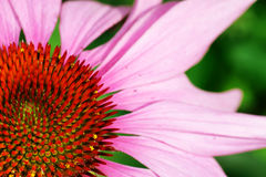 Echinacea or purple coneflower Royalty Free Stock Image