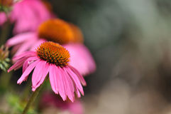 Echinacea (Purple Coneflower) Royalty Free Stock Photography