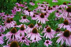 Echinacea purple flowers blooms in the summer garden royalty free stock images