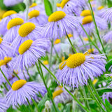 Echinacea, purple and yellow cone flowers Royalty Free Stock Images