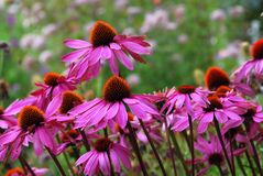 Echinacea Purprea royalty free stock image