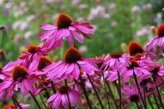 Echinacea Purprea Стоковое Изображение RF