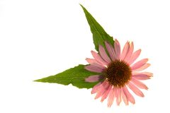 Echinacea purpurea; Stock Photo