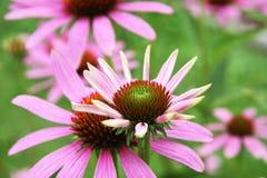 Echinacea purpurea Lizenzfreies Stockbild