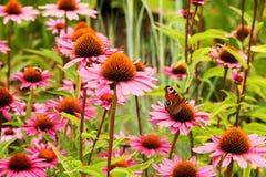Echinacea Purpurea imágenes de archivo libres de regalías