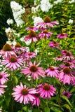 Echinacea Purpurea Στοκ εικόνα με δικαίωμα ελεύθερης χρήσης