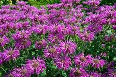 Echinacea Purpurea Στοκ Εικόνες