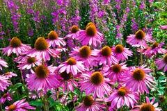 Echinacea purpurea Fotografia Stock Libera da Diritti