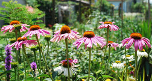 Echinacea Purpurea Photos stock