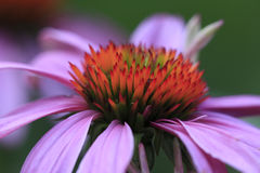 echinacea purpurea Fotografia Royalty Free