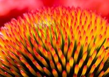 Echinacea purpurea Stock Photos