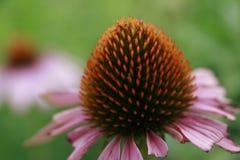 Echinacea Purpurea Royaltyfria Bilder