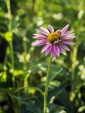 Echinacea Purpurea Fotografía de archivo