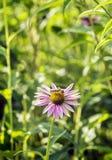 Echinacea Purpurea Foto de archivo
