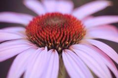 Echinacea purpurea Immagine Stock Libera da Diritti