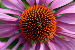 Echinacea purpurea Immagine Stock