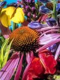 Echinacea purpurea Fotografia Stock