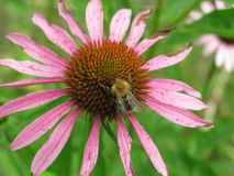 Echinacea Purpurea Στοκ φωτογραφίες με δικαίωμα ελεύθερης χρήσης