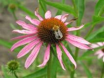 Echinacea Purpurea Στοκ φωτογραφία με δικαίωμα ελεύθερης χρήσης