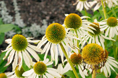 Echinacea purpurea Alba. White flowers of Echinacea purpurea Alba, Asteraceae, (White coneflower) botanical garden, Gothenburg, Sweden stock photo