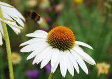 Echinacea Purpurea with Bee Stock Photo