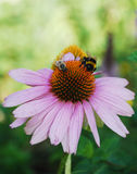 Echinacea Purpurea with Bees Royalty Free Stock Photo