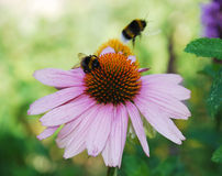 Echinacea Purpurea with Bees Royalty Free Stock Photography
