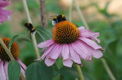 Echinacea Purpurea with Bees Stock Photo