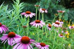 Echinacea purpurea Royalty Free Stock Images