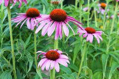 Echinacea purpurea Royalty Free Stock Image