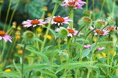 Echinacea purpurea Royalty Free Stock Photos