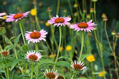 Echinacea purpurea Stock Photo