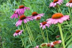 Echinacea purpurea Stock Image