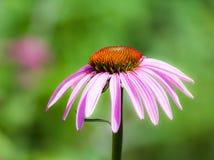 Echinacea purpurea blossom Royalty Free Stock Photography