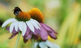 Echinacea Purpurea con la abeja Fotos de archivo