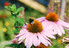 Echinacea Purpurea con la abeja Imágenes de archivo libres de regalías
