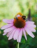 Echinacea Purpurea con las abejas Foto de archivo libre de regalías