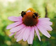 Echinacea Purpurea con las abejas 3 Foto de archivo