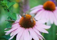 Echinacea Purpurea con las abejas 5 Fotos de archivo libres de regalías
